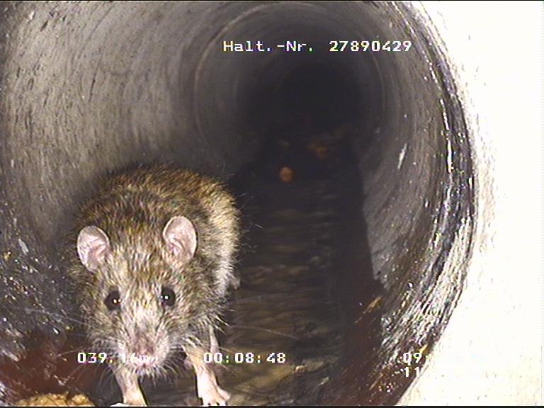 Eine Ratte in der Kanalisation; aufgenommen von einem Kameraroboter.