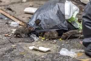 Ratten fühlen sich überall dort wohl, wo sie Unterschlupf und Nahrung finden. Unachtsam weggeworfene Lebensmittel ziehen die Nager an.