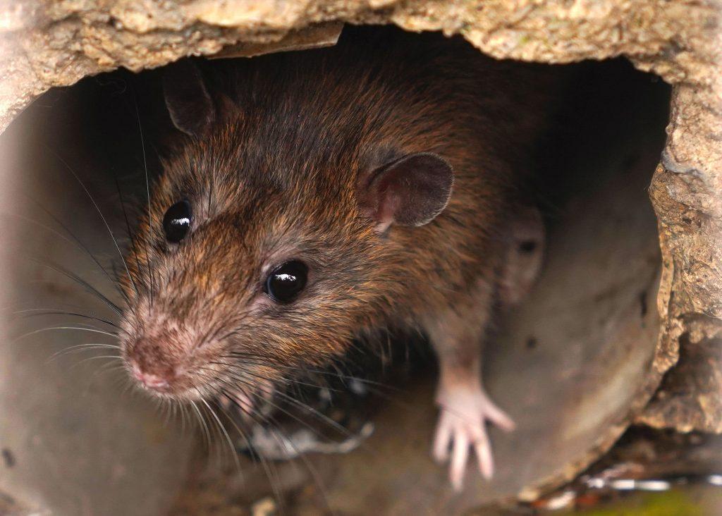 Ratten sind eine normale Begleiterscheinung in Städten.