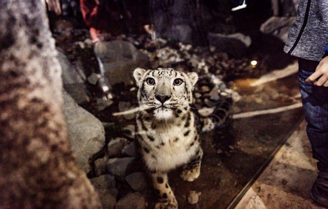 Eine Leopardendame schaut neugierig in die Kamera.