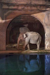 Ein Elefant schleicht gemütlich durch sein Elefantenhaus.