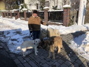 #gemeinsamschippenwirdas: Ein Mann an der Strecke geht mit seinen zwei Hunden und Schaafen an der Strecke der Linie 11 spazieren